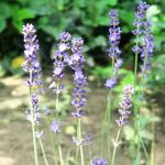 rastliny_levanduľa