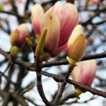 rastliny_magnolia__
